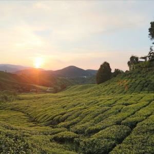 【ツアーで行く】キャメロンハイランドの茶畑に昇る朝日鑑賞