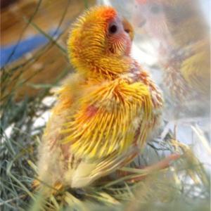 みにぃ10回目の誕生日✨ 注)生まれた頃の羽のないコザクラインコの写真あり