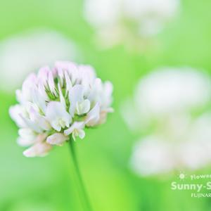 花写真 n822 シロツメクサ