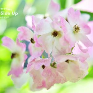 花写真 n824 バレリーナ