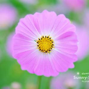 花写真 n863 コスモス