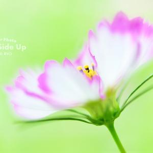 花写真 n864 コスモス