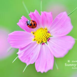 花写真 n867 てんとう虫とコスモス