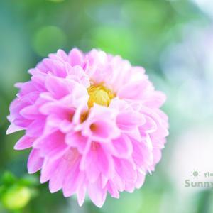 花写真 n868 ダリア