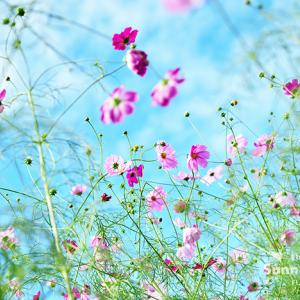 花写真 n870 コスモス