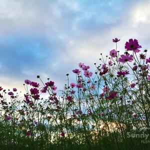 花写真 n871 夕暮れコスモス