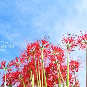 花写真 n872 彼岸花