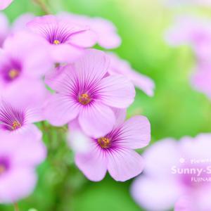 花写真 n873 オキザリス