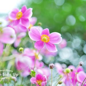 花写真 n875 シュウメイギク