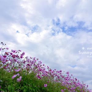 花写真 n877 コスモス