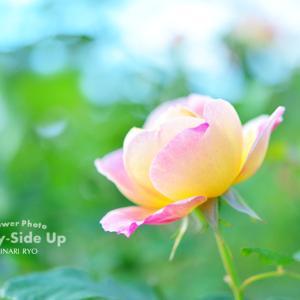 花写真 n880 バラ