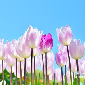 花写真 n915 チューリップ(4月)