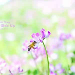花写真 n965 レンゲとミツバチ