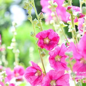 花写真 n986 タチアオイ