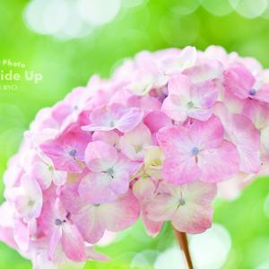 花写真 n987 やさしいピンクのあじさい