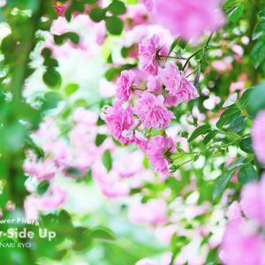 花写真 n988 ドロシーパーキンス