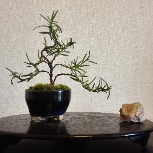 ローズマリー盆栽