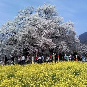 熊本・一心行の大桜&くまフォト