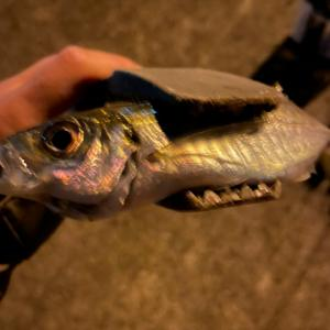アジングでどでかいやつが!! 大物を釣り逃すほど釣りは上手になる