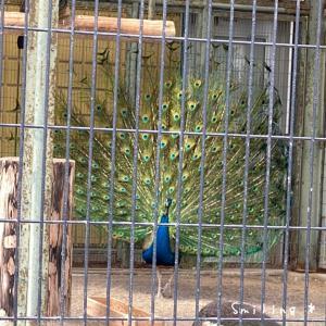 函館公園の孔雀が綺麗な羽を広げてました♡