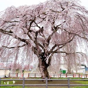 北斗市 法亀寺しだれ桜とあみぐるみ着物くまちゃん♡