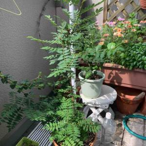 山椒の木の葉がめっちゃ大きい!早く粉にしないとなぇ。