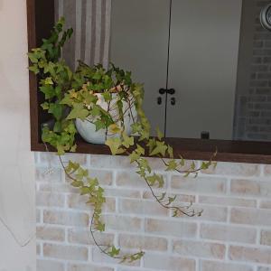 愛着のある観葉植物たち。