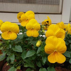 約1年前の早春の花…♪