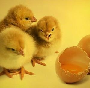 卵は一日何個食べる?ドイツ2021年末から雄ひよこの大量殺処分を禁止