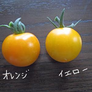 やっぱり、今年もミニトマトの品種選びは失敗