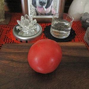 大玉トマト 「麗月」初収穫