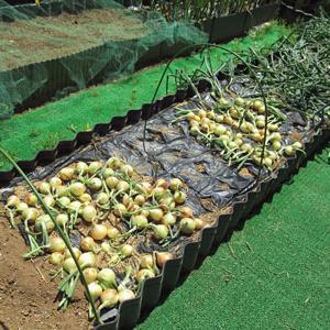 玉ねぎの収穫と土作り