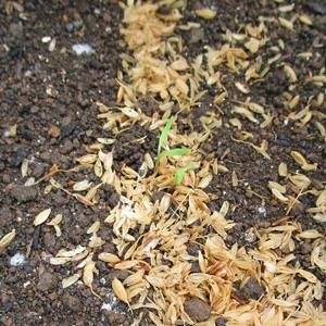 やっと芽が出た、ニンジン