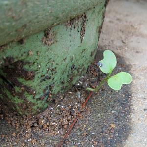 ど根性大根と、白菜の葉を守ろうとして・・・