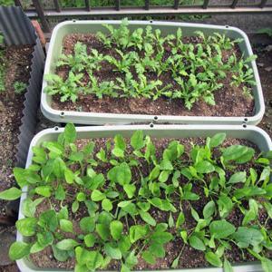 秋冬の葉物野菜・・・春菊、ほうれん草