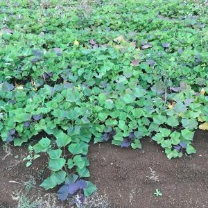 そろそろサツマイモ掘り掘りの季節ですの巻