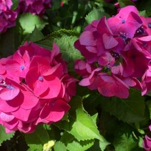 ❤️隠れミッキー紫陽花❤️