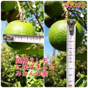 庭植えレモンへの接ぎ木 カクテルツリーの果実急成長中!