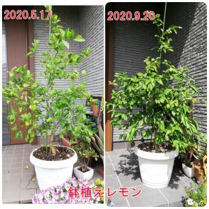 レモンの成長 2020.9 青虫君との闘いと、この4か月での成長!