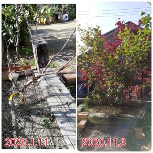 すもも、2年目の成長 1本の樹に李王・アルプス王子・彩の姫 すももは何年目で収穫に至るのか?
