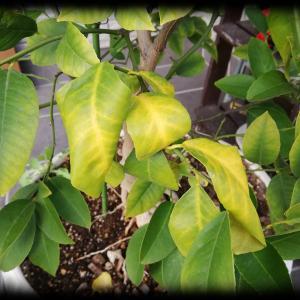 レモンの成長 2020.11 この時期は毎年葉が黄色くなる。