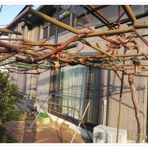 ピオーネの成長 2021年2月 そろそろ波板屋根の増設を。