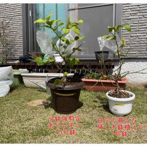鉢植えレモンを植え替える。何号鉢なら果実がちゃんと生るのかを検証してみたい。