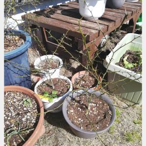 ・カラタチの挿し木をやってみた! ・今年もやっぱりテッポウムシ被害!