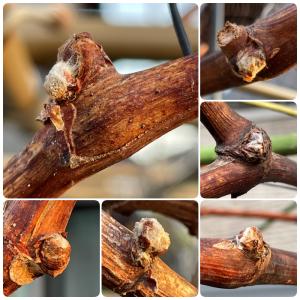 ピオーネの成長 2021年4月 萌芽は枝の先端部から始まる? 更なる肥大化の為に。