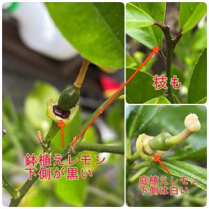 レモンの成長 2021.5 7年目にて生理的落果? 果実の付け根が黒い。 今年のレモンの行方は。。