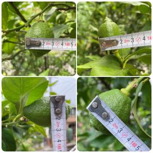 6月26日時点のレモン果実の大きさ 果実肥大化のスピードはどれぐらい?