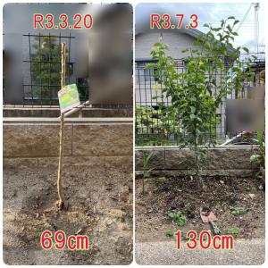 梅「花香実」、苗木植え付け後約4か月経過 棒苗はどれ程成長するものなのか?