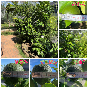 レモンの成長 2021.7 去年はレモン、今年は花柚子。