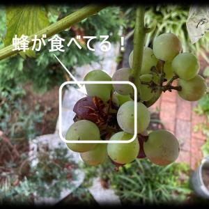 ピオーネの成長 2021年8月 果実の裂果と腐敗が始まった。袋掛けなしでは蜂に食べられる?